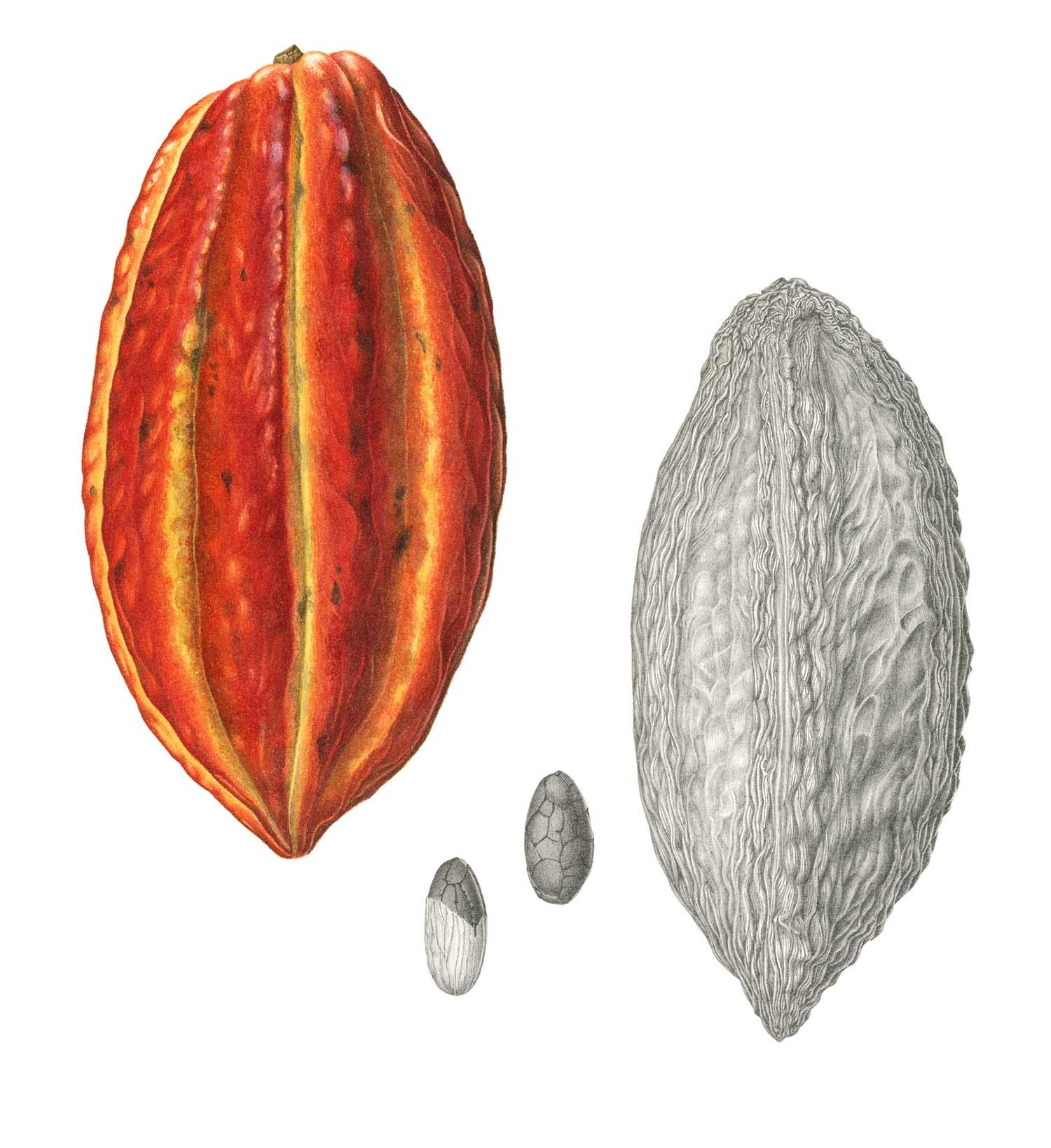 Cacao Pod | Original Sold
