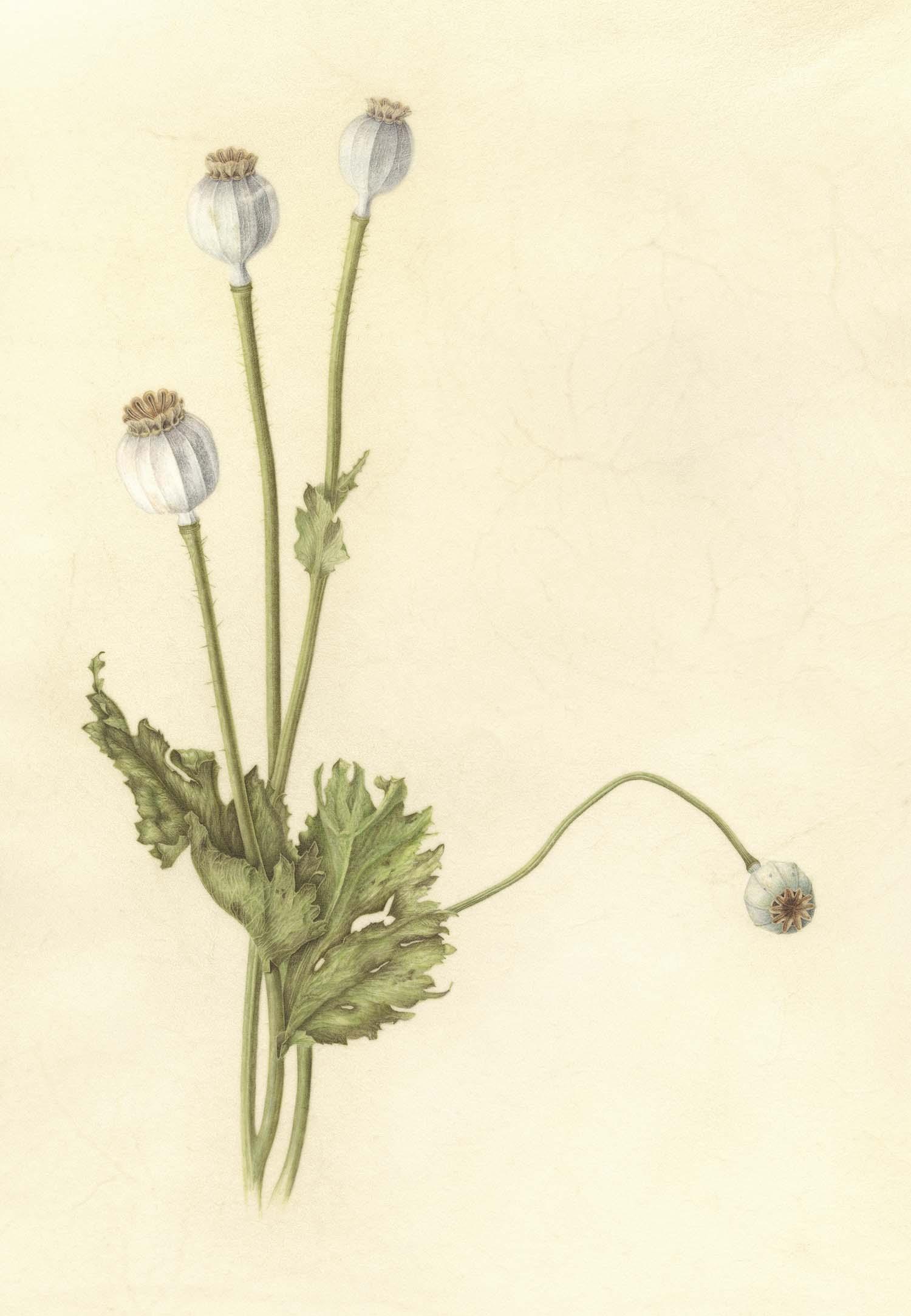 Poppies | Original Sold