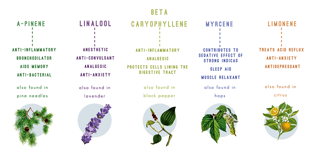 Examples of more commonly known and utilized terpenes,each with their own varying and increasingly useful effects.