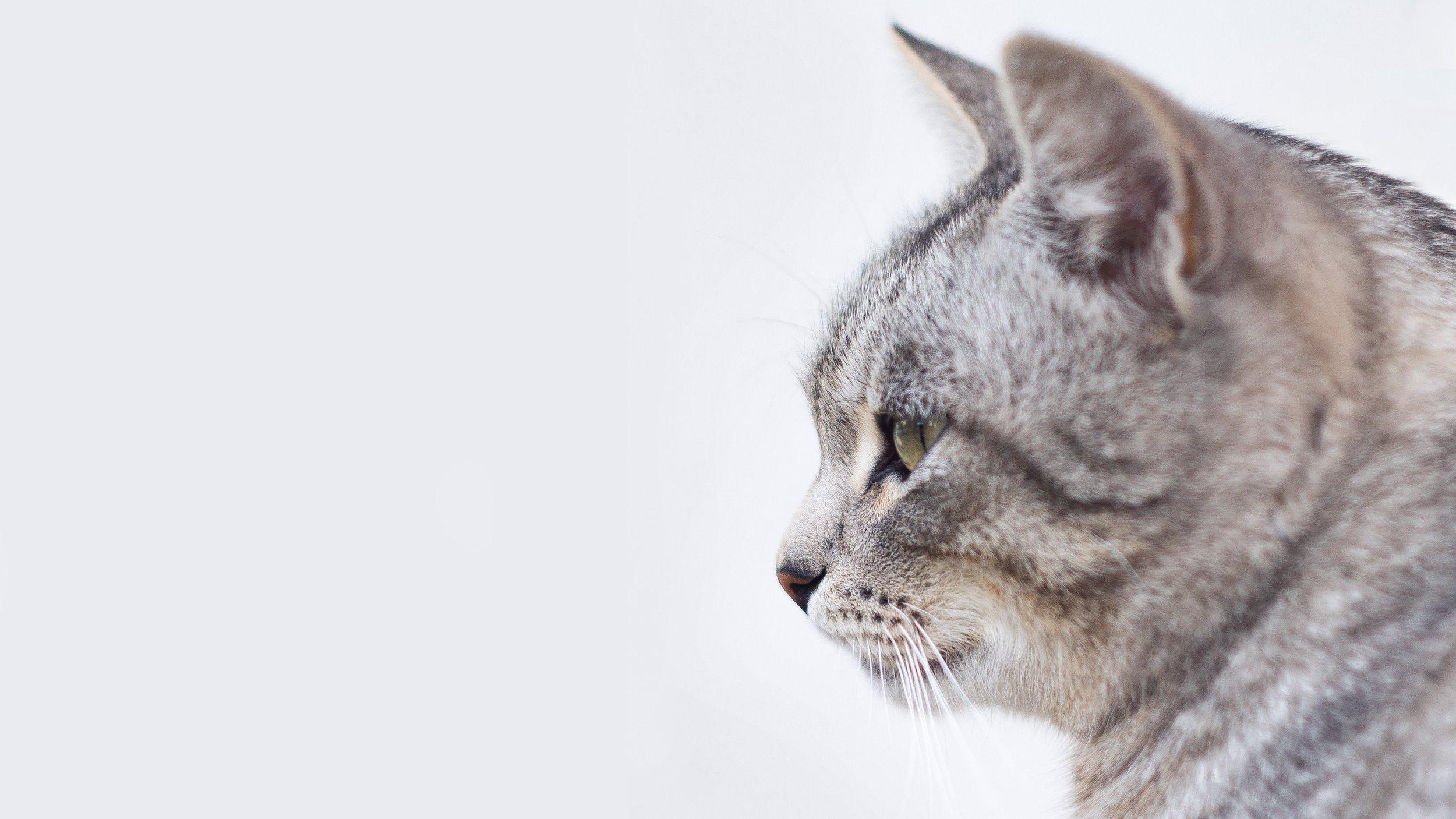 workwithme_cat-portrait_mikhail-vasilyev-34524-unsplash.jpg