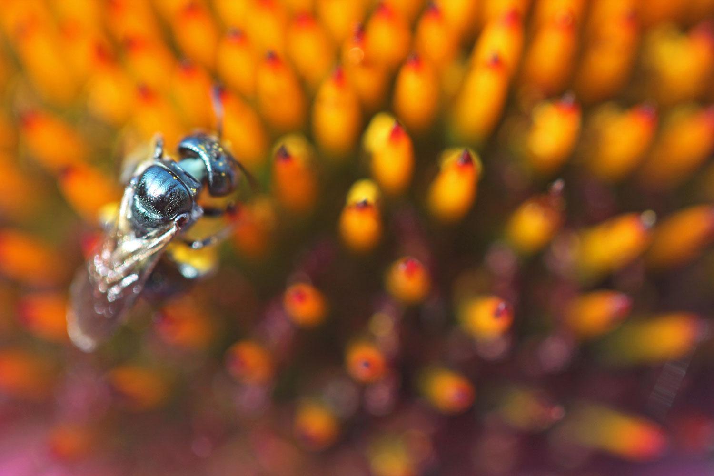 Bee and Coneflower photograph by Samantha Henneke | Bulldog Pottery | Seagrove | North Carolina