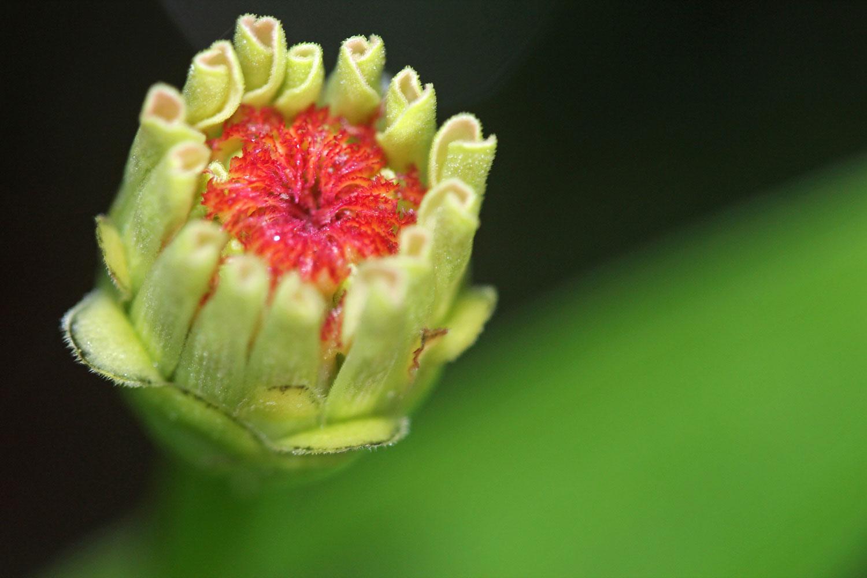 A Bud of a Zinnia photograph by Samantha Henneke | Bulldog Pottery | Seagrove | North Carolina