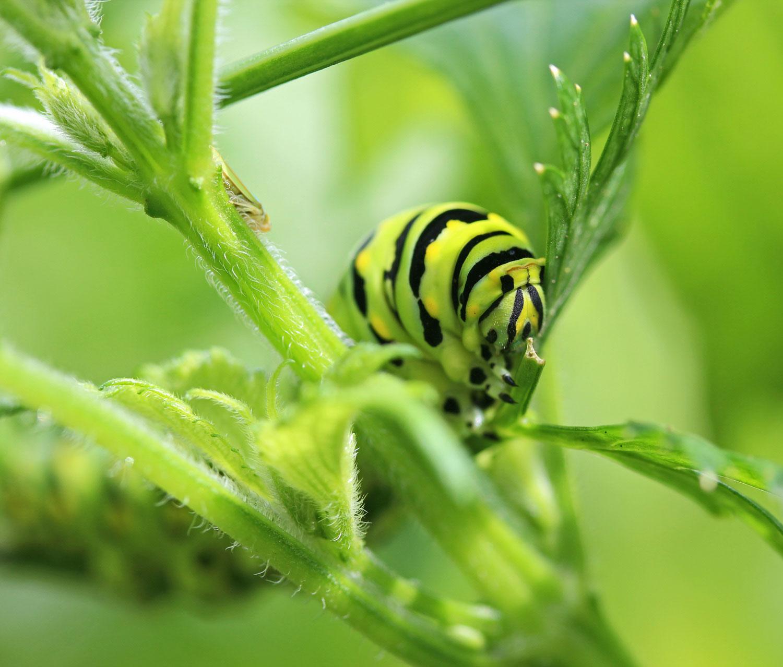Caterpillar in Dill photograph by Samantha Henneke | Bulldog Pottery | Seagrove | North Carolina