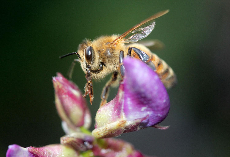 Bee on Hyacinth Bean photograph by Samantha Henneke | Bulldog Pottery | Seagrove | North Carolina