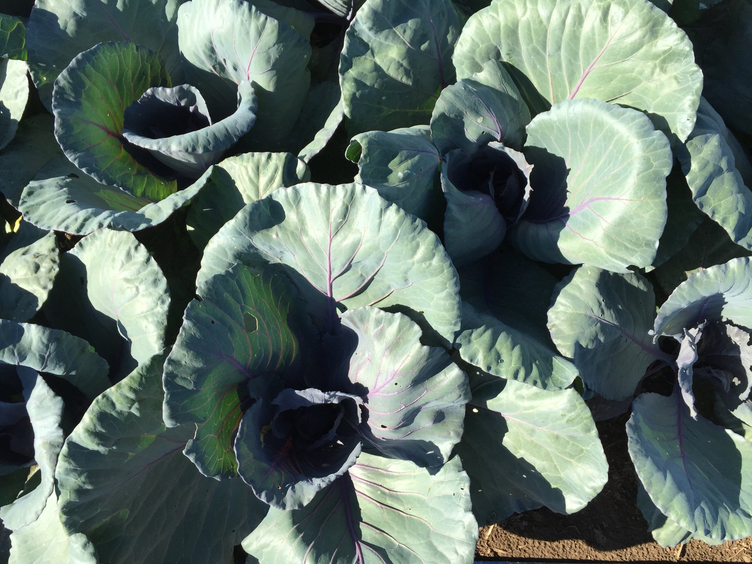 Spirit creek cabbage