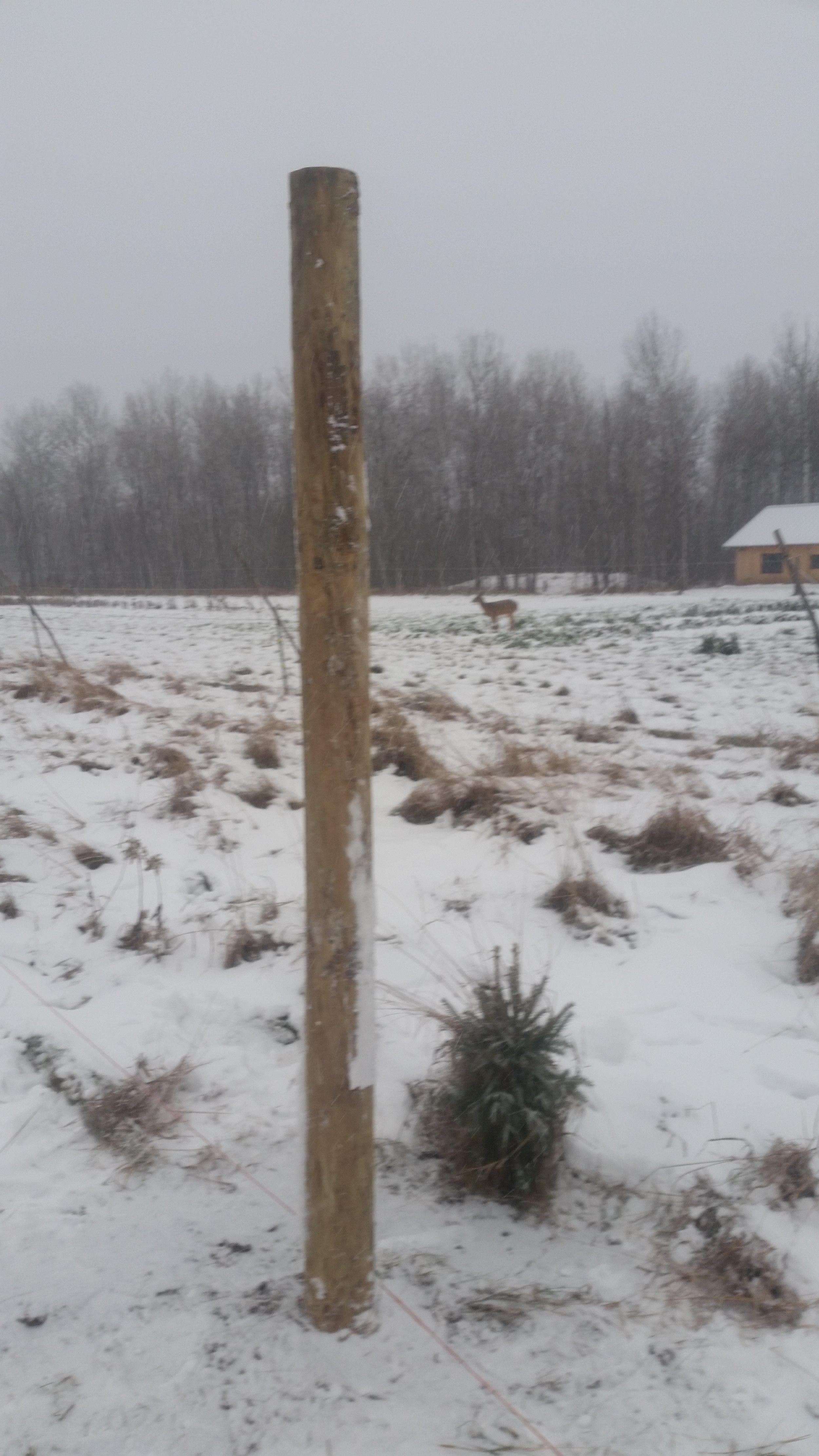 The deer look on as we build the deer fence
