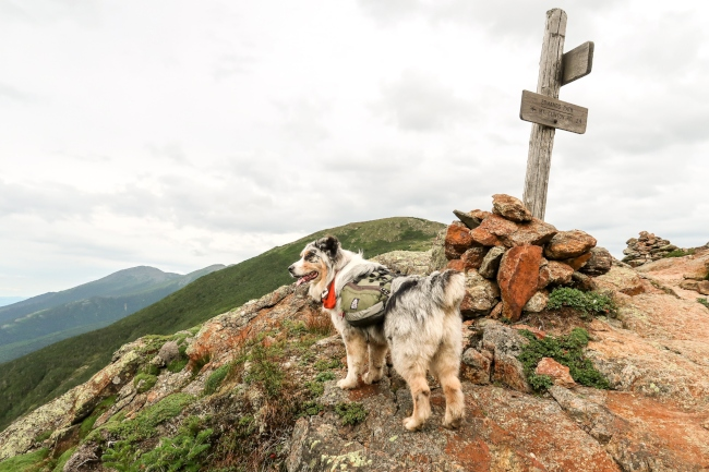 Even dogs appreciate the sweeping views on the Presidential Ridge in the WMNF.