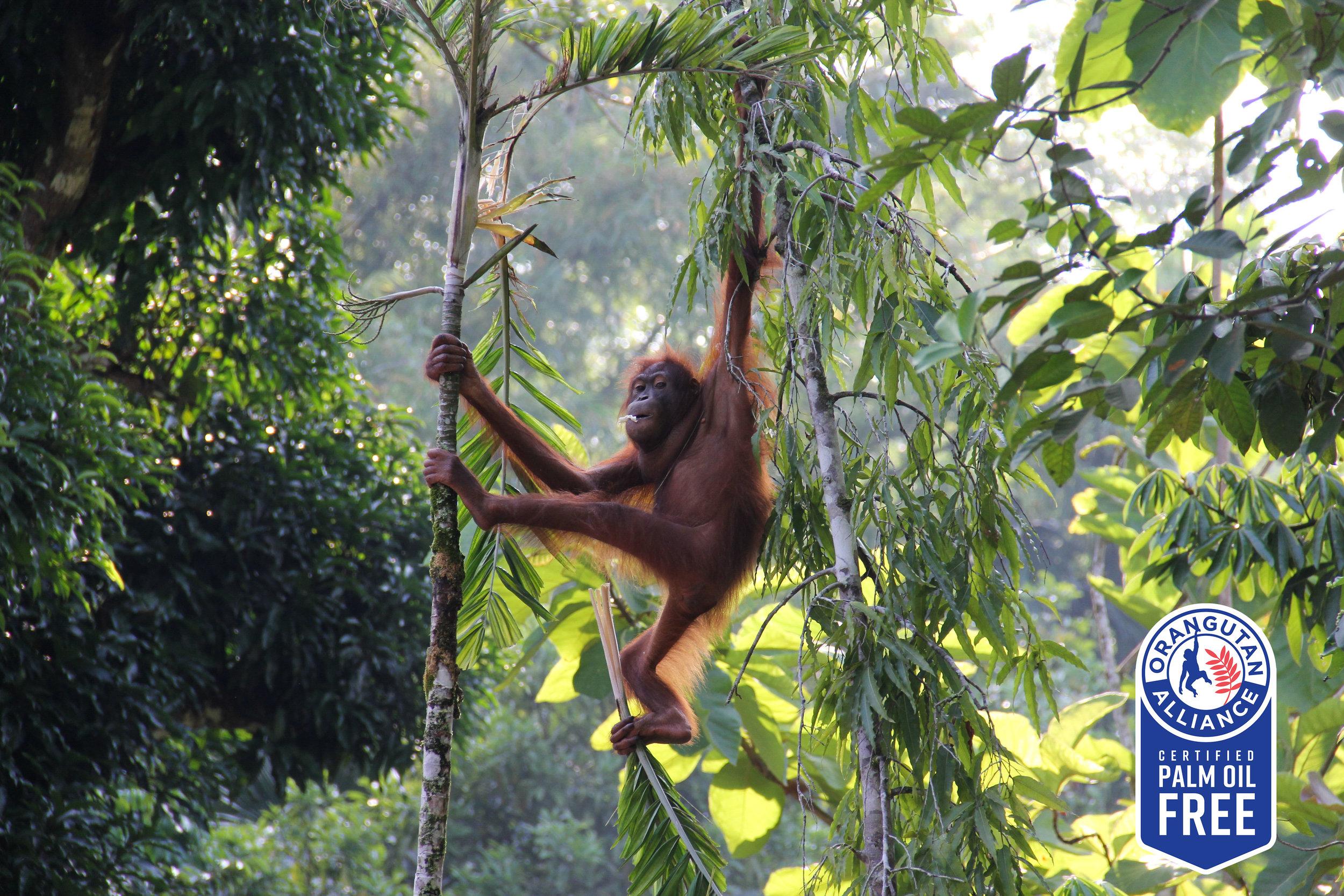 Orangutan_shutterstock_310524923 copy.jpg