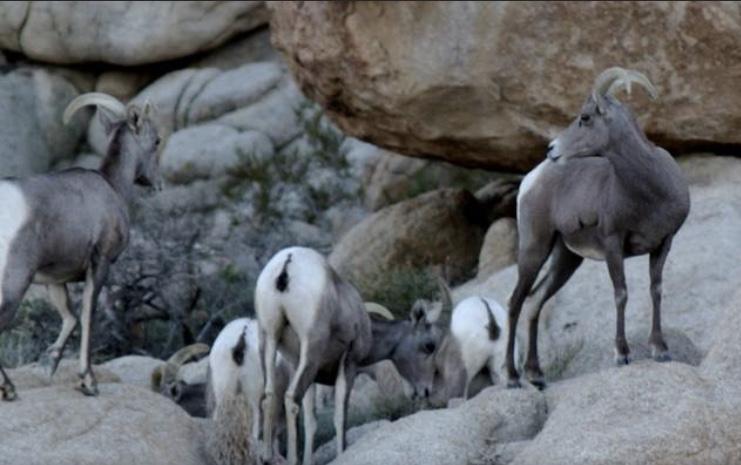 mountain goats.jpg