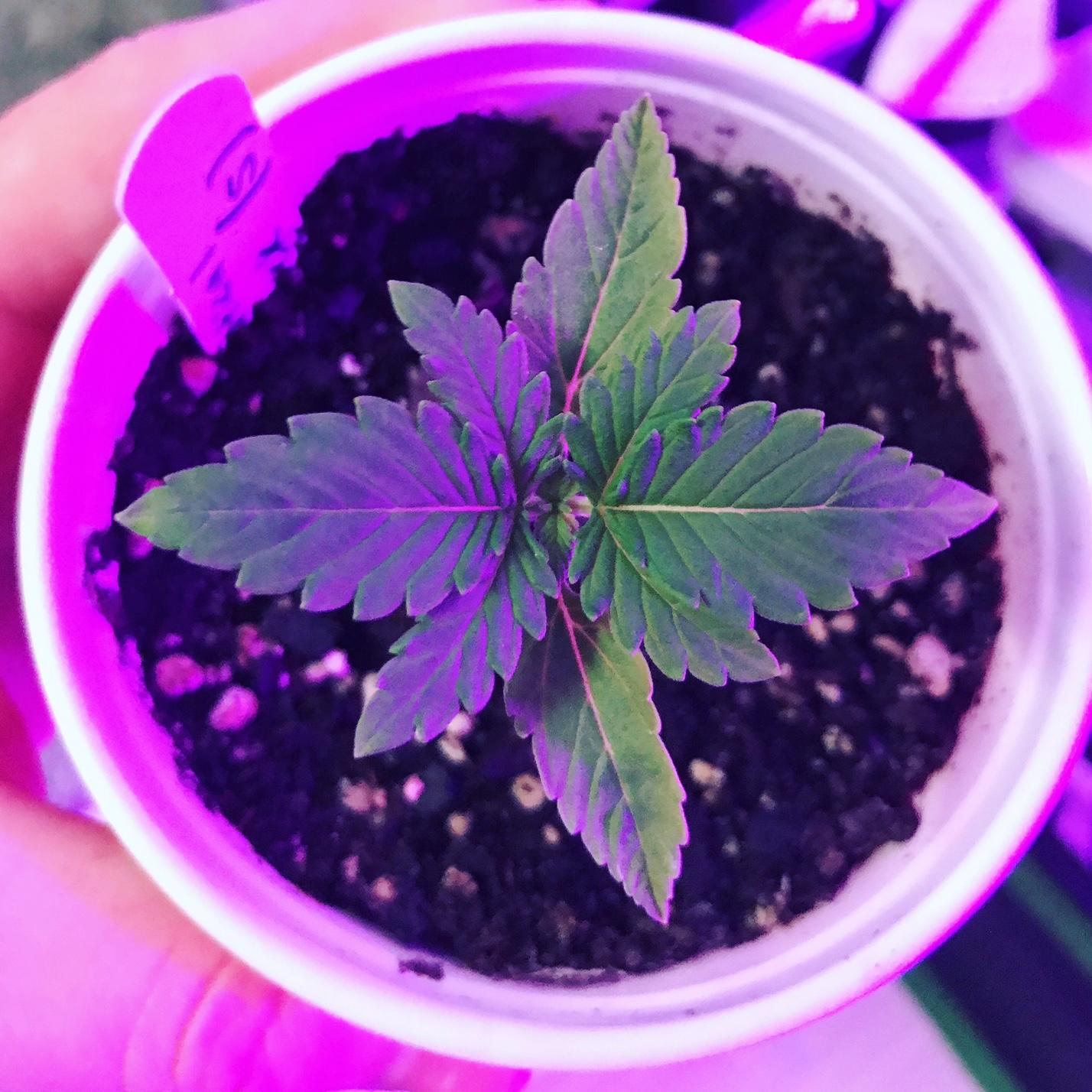 Autoflower Seedling
