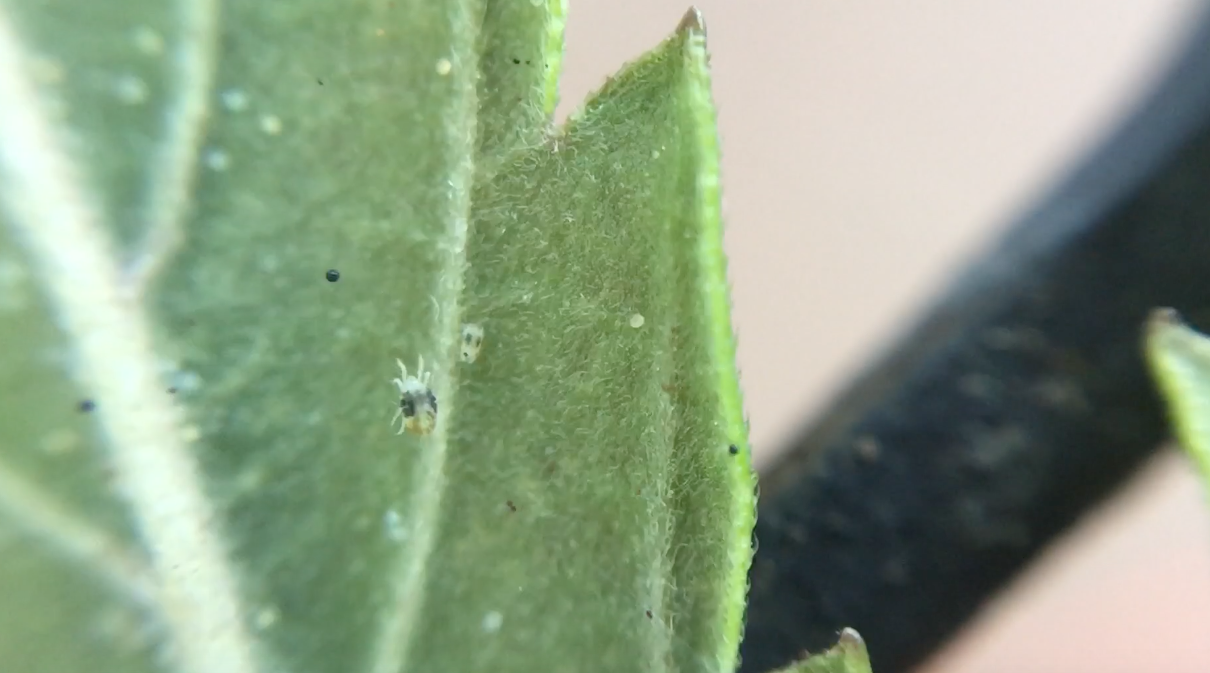 A zoomed in shot of a spider mite on the underside of a cannabis fan leaf.