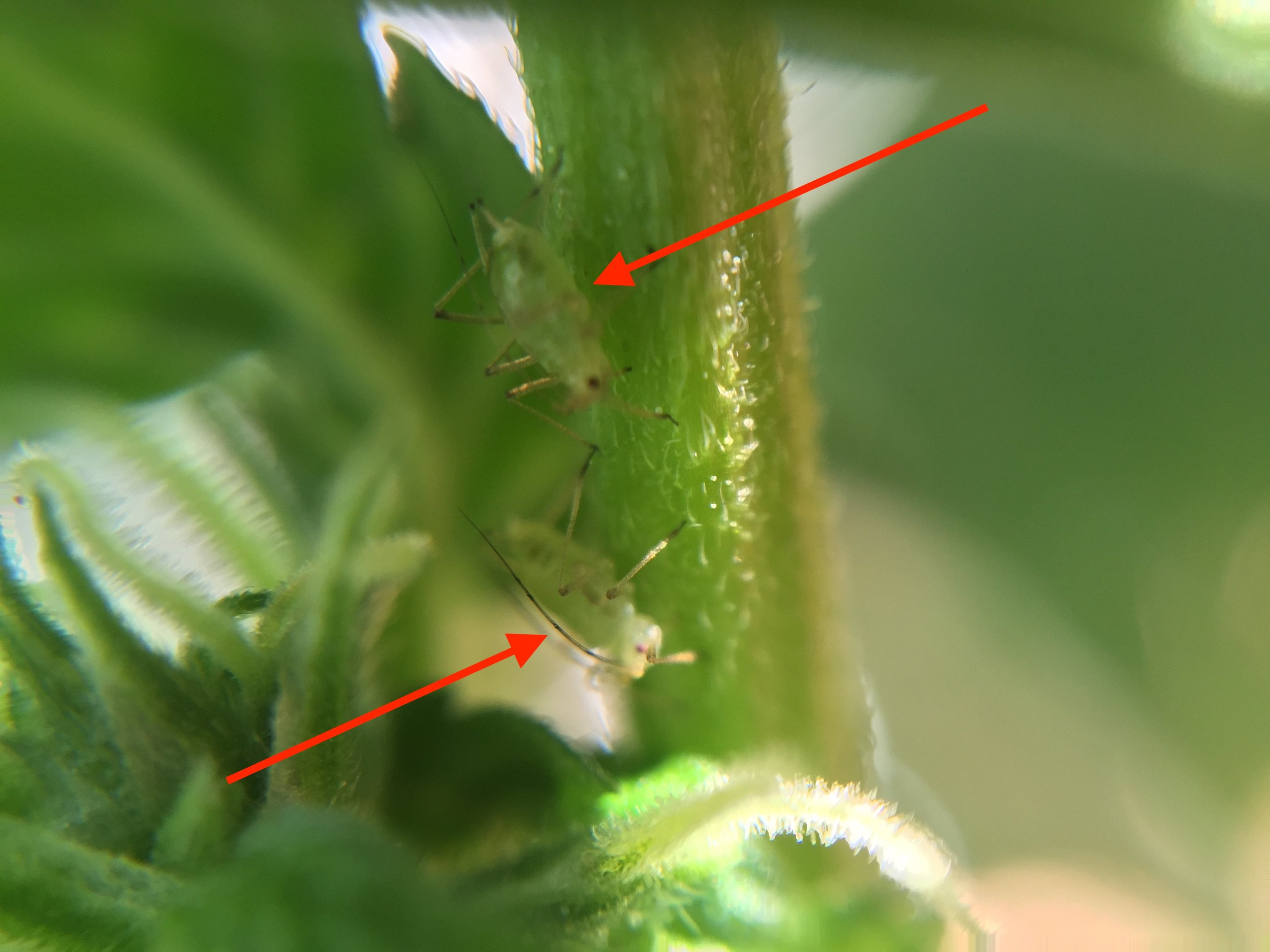 2 Aphids hiding in the shade of a cannabis branch.