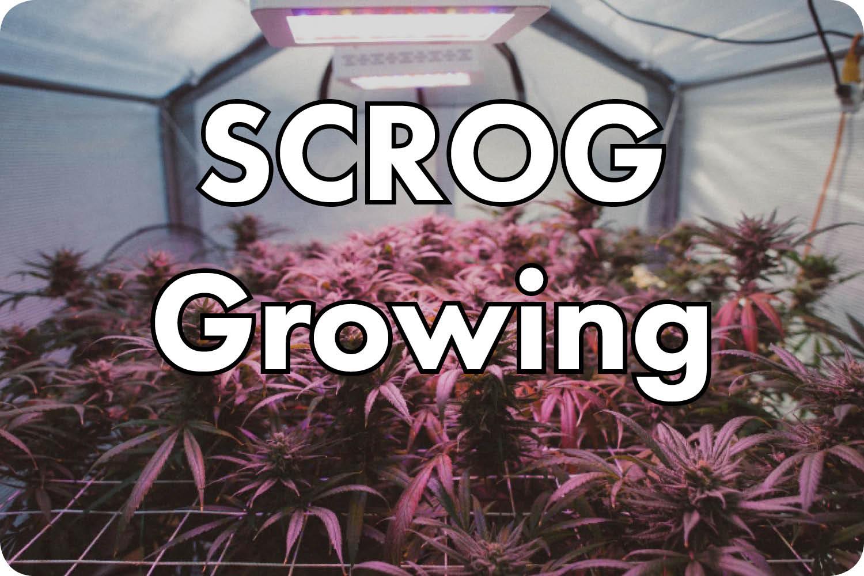 SCROG Grow Videos