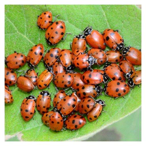 1112525_ladybugs.jpg