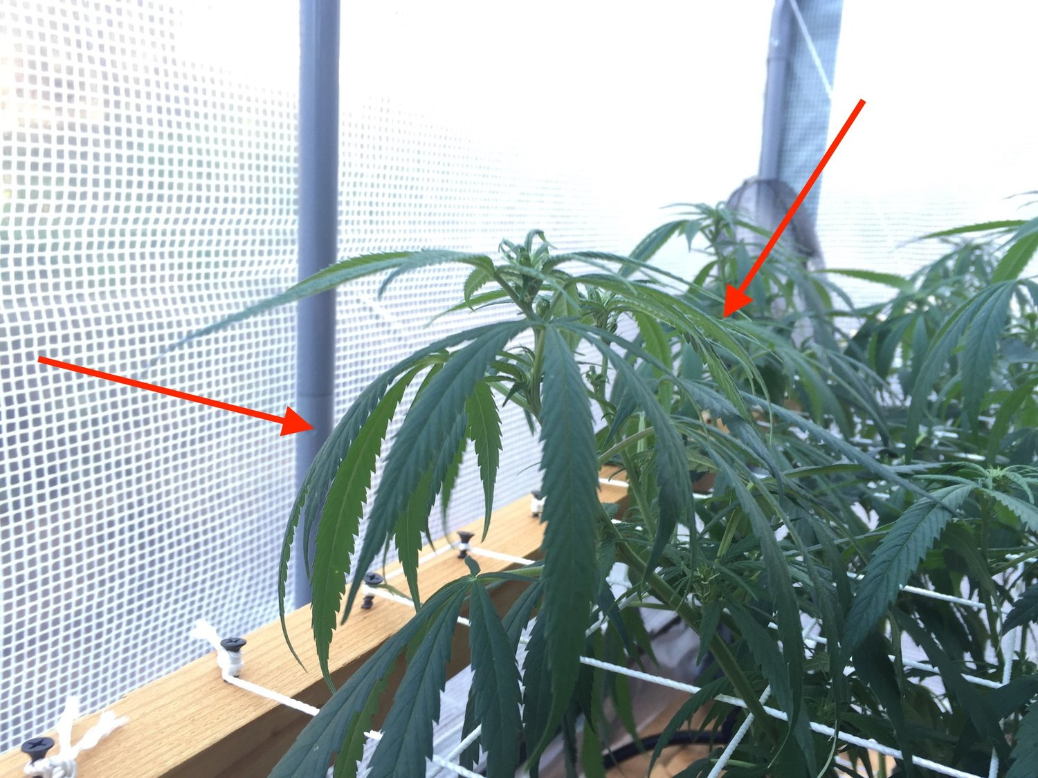 Under Watered Cannabis Plant (Click to Enlarge)