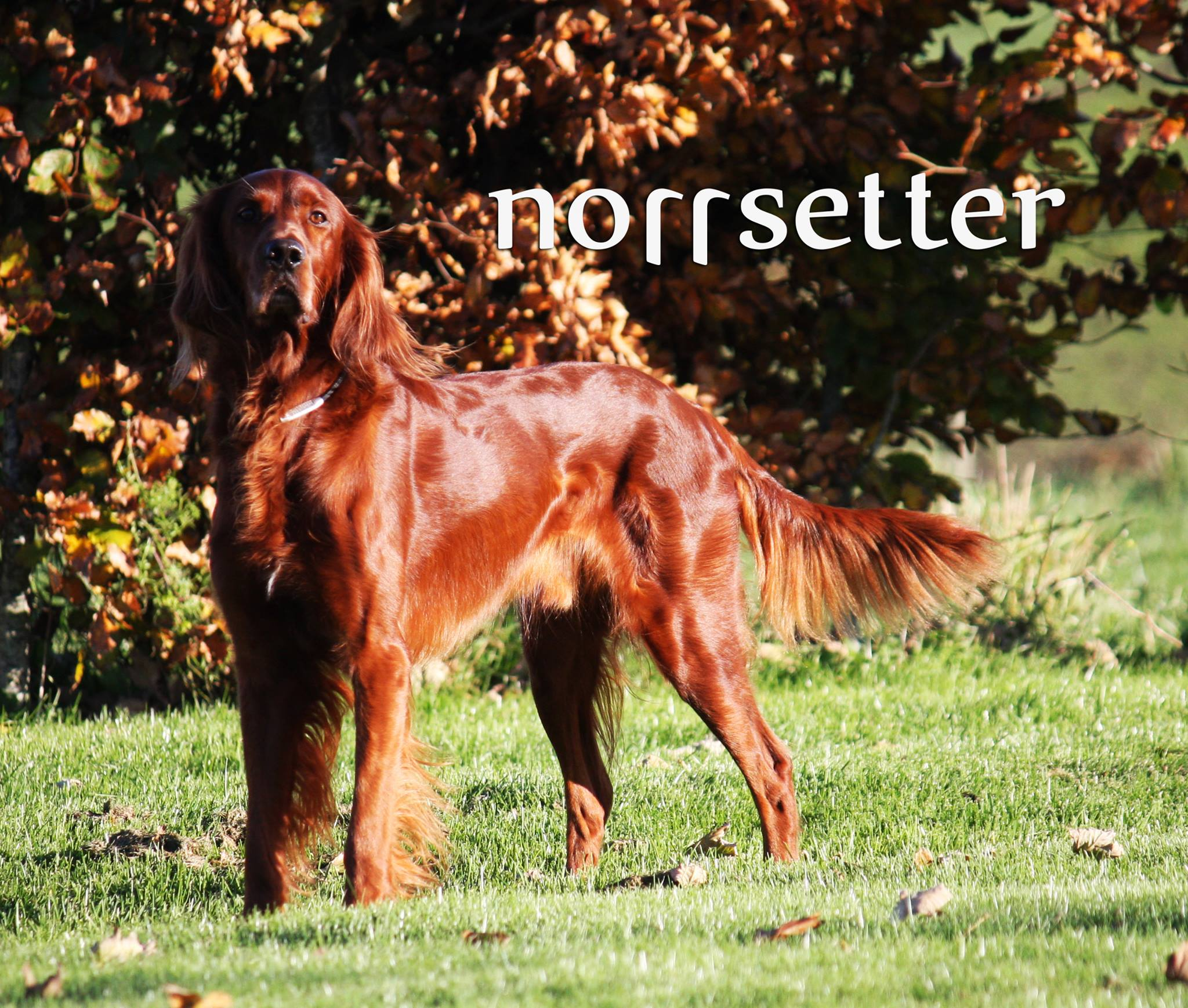 norsetter logo.jpg