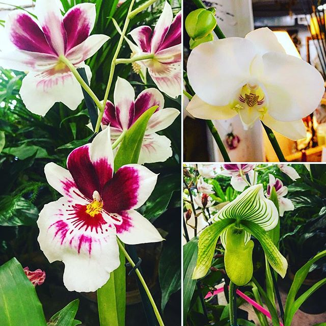 "New orchids in every shape and color!  Come choose your favorite orchid, pick out a ceramic orchid pot, then let us ""moss it up"" and add some curly vine to create a beautiful, one-of-a-kind gift for a friend - or yourself! • • • • • • • • #orchid #miltionopsis #dancingladyorchid #dendrobium #slipperorchid #ladyslipper #giftideas #giftsforher #orchidsofinstagram #athensga #uga #shoplocal #georgia #oneofakind #uniquegifts #plantsofinstagram #floristsofinstagram #flowerstagram"