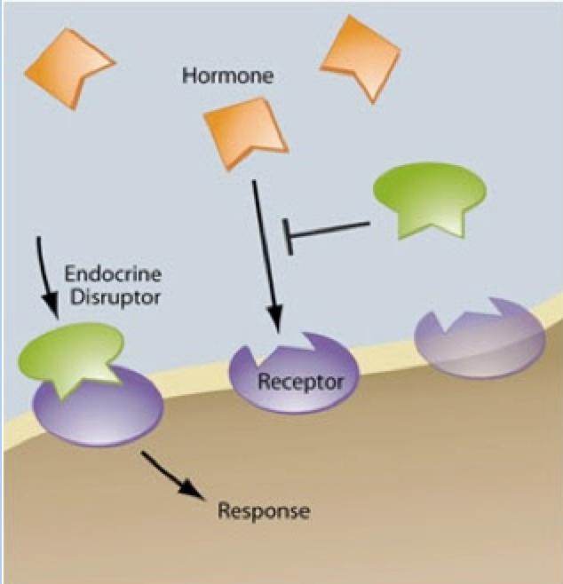 Illustration of EDCs disrupting hormones.