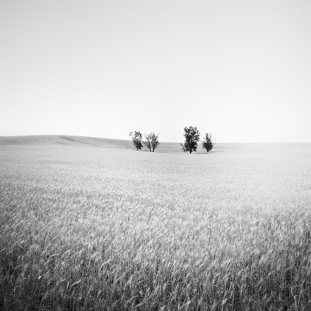 Trees in wheat field, CA, USA 2015 - No.: 11941