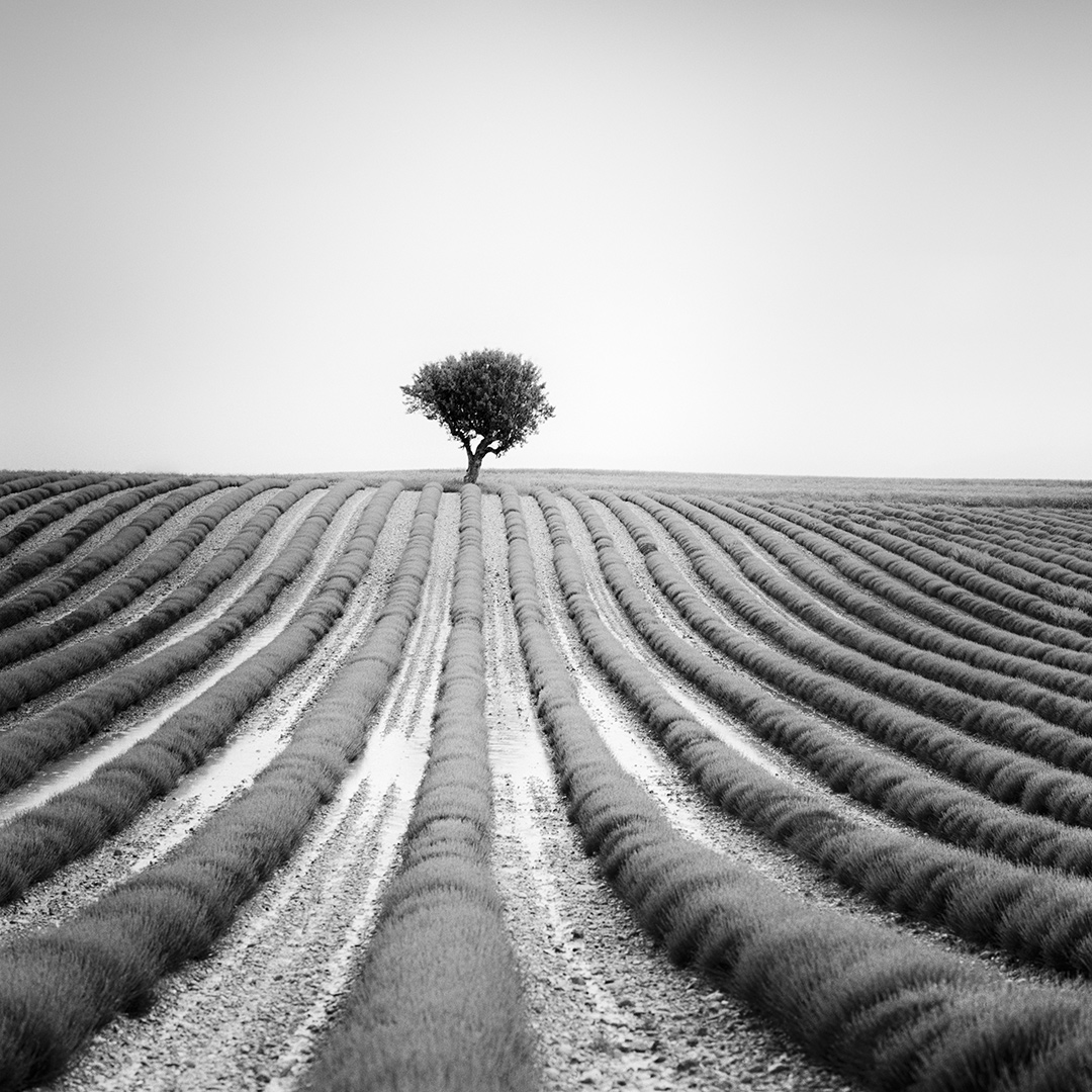 Lonely Tree in Lavender, France 2018 - No.: 11991