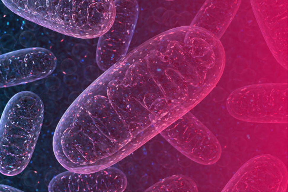Mitochondria 101 - The powerhouse of your cells, creating around 90% of the vitality being produced in your body.