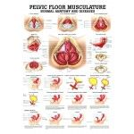 PELVIC FLOOR CHART   This pelvic floor wall chart will help you explain anatomy of the pelvic floor and reasons for urinary incontinence and prolapse.