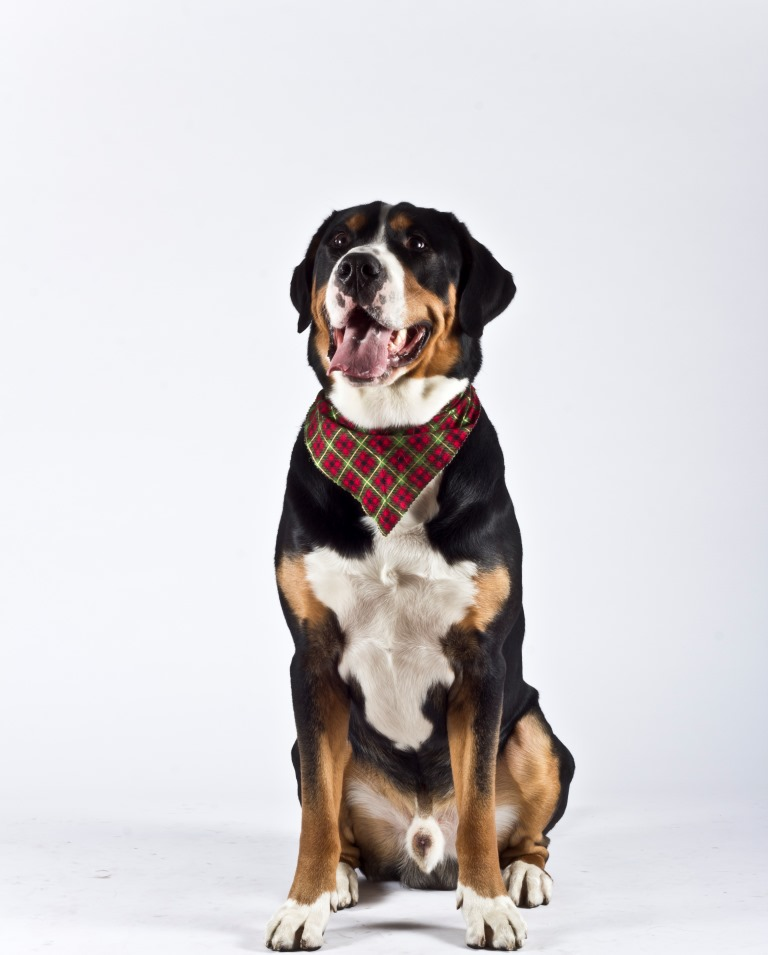 About Lake Shore Greater Swiss Mountain Dog Club