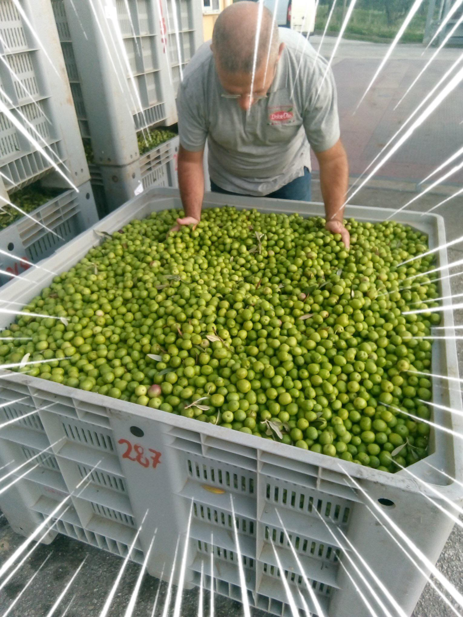 Freshly harvested Biancolilla olives