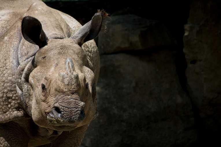 Javan_Rhinoceros_23.jpg