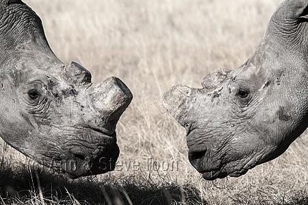 Project: African Rhino