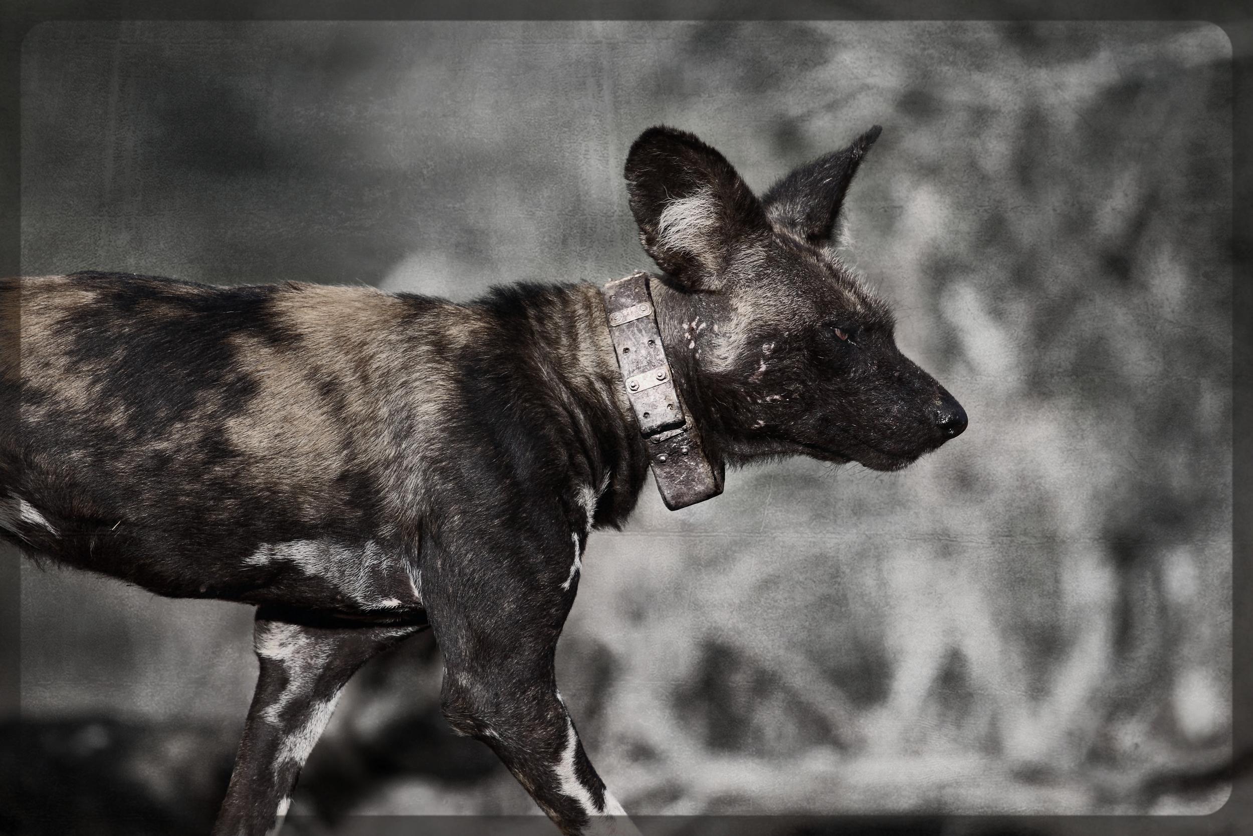 Wild Dog Website sm.jpg