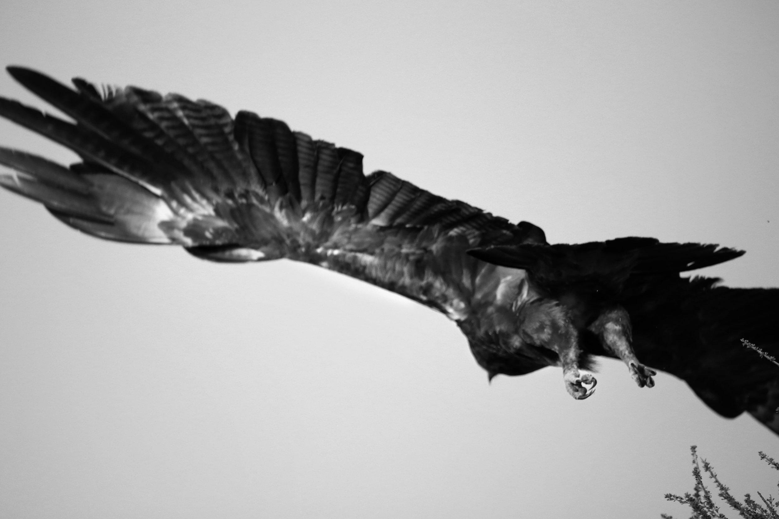 Website Eagle.jpg