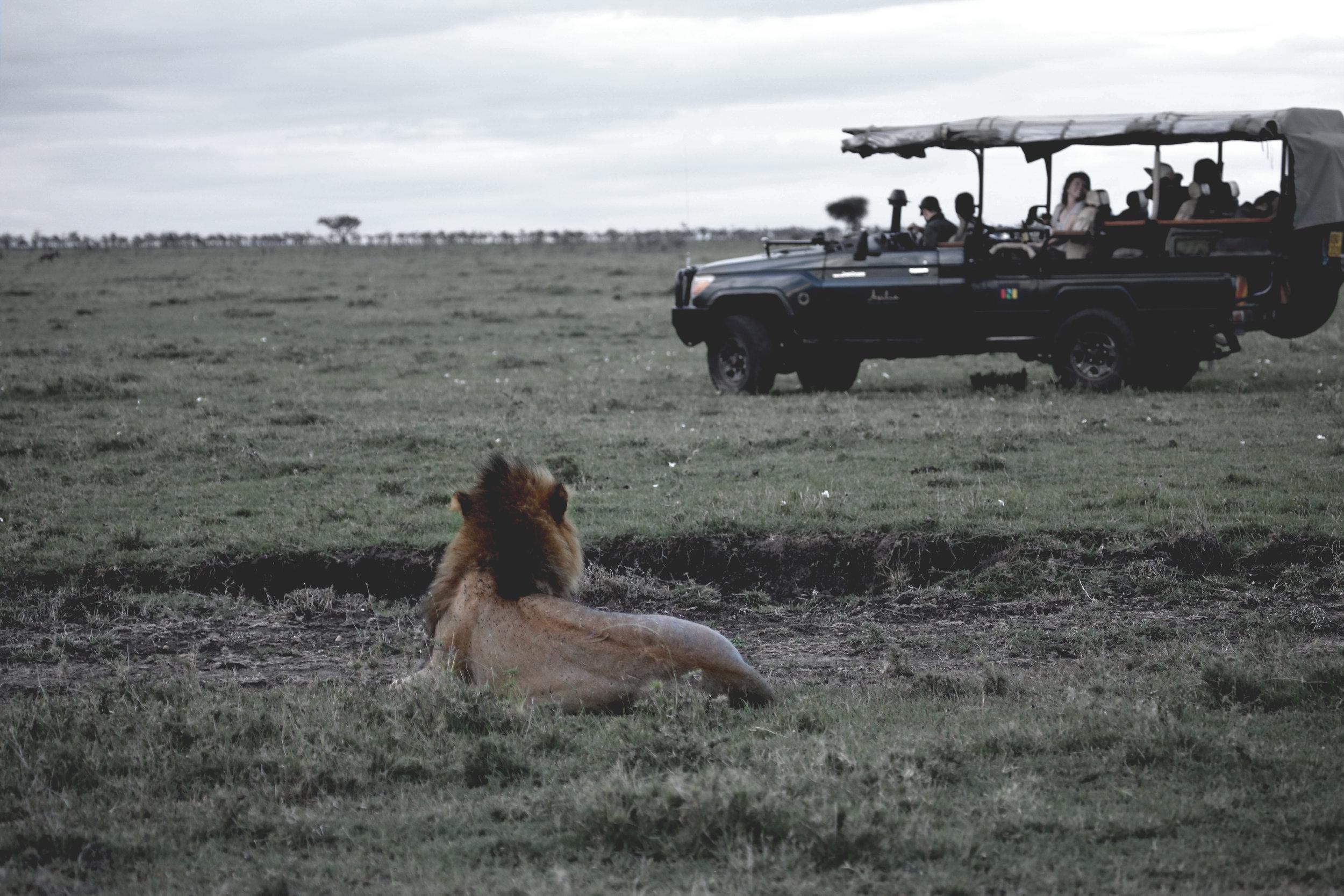 Lion Safari Mara2.jpg