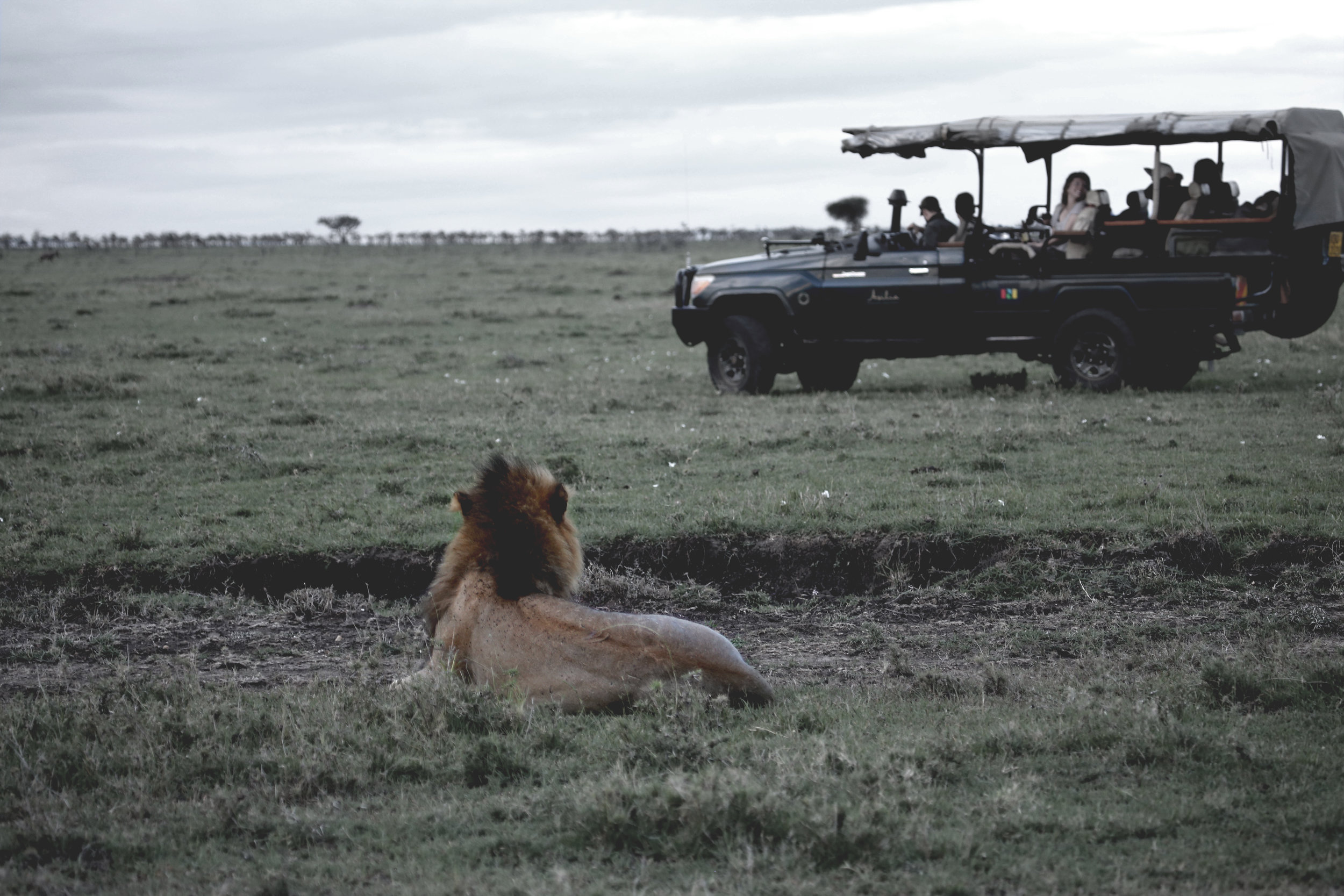 Lion Safari Mara2.jpg