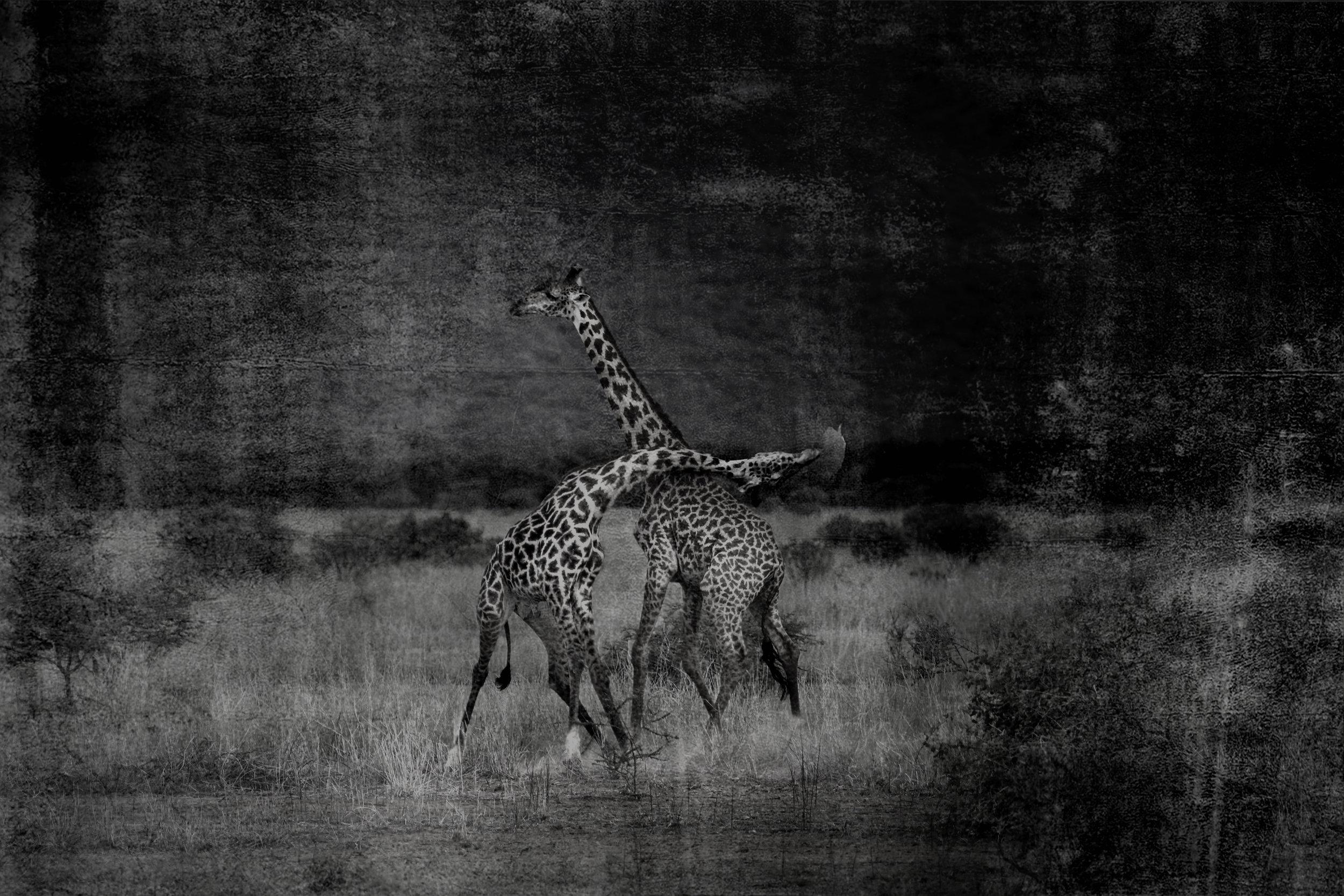 Giraffe Website BW.jpg