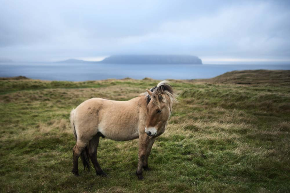 Horse on Faroe Islands