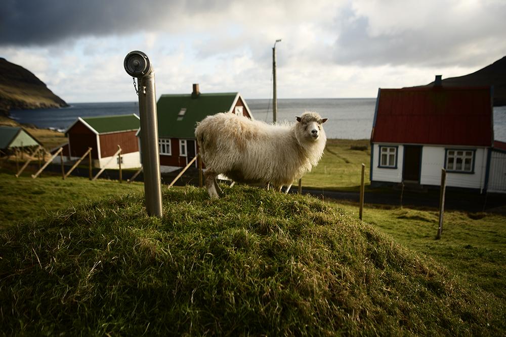 A roaming sheep