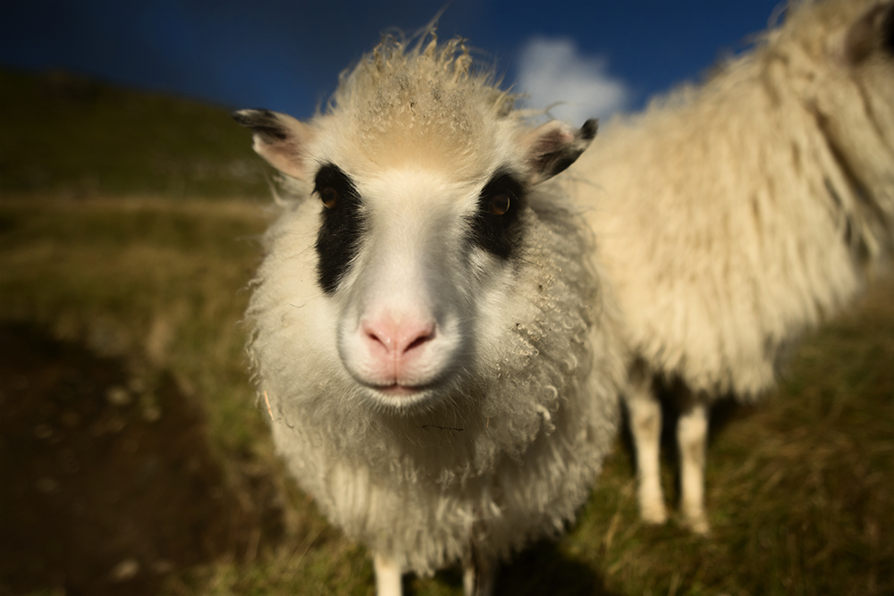 "Two ""Panda Sheep"" (panda seyður)"