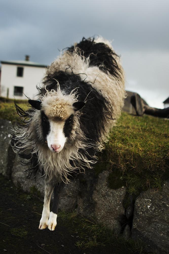 Action sheep