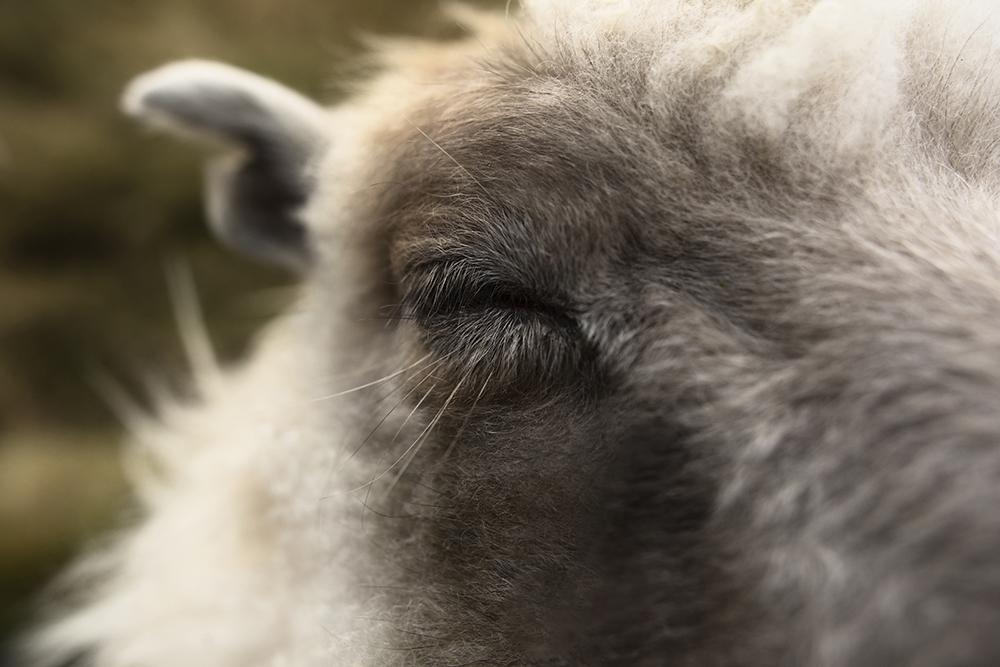 Cuddle sheep closing her eyes, enjoying her face cuddles