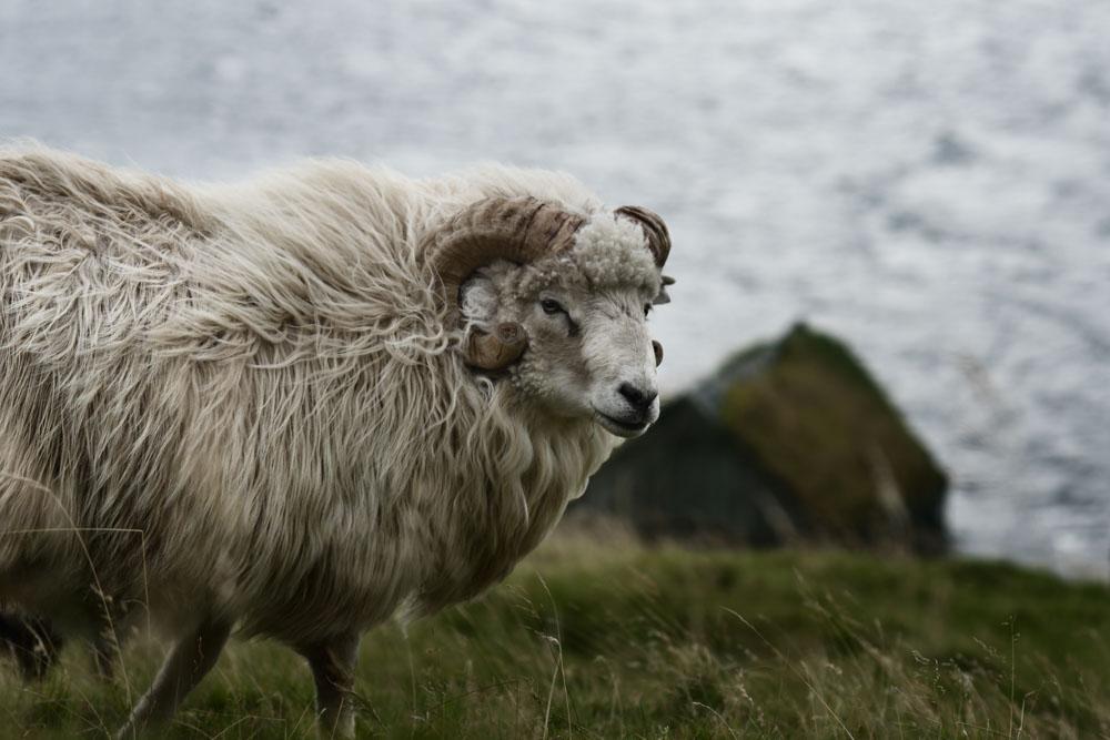Wild Sheep on Faroe Island. Photographed in Søldarfjørður on Eysturoy
