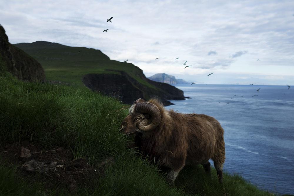 The sheep island
