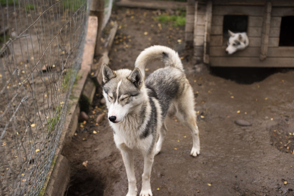 Huskies at the farm