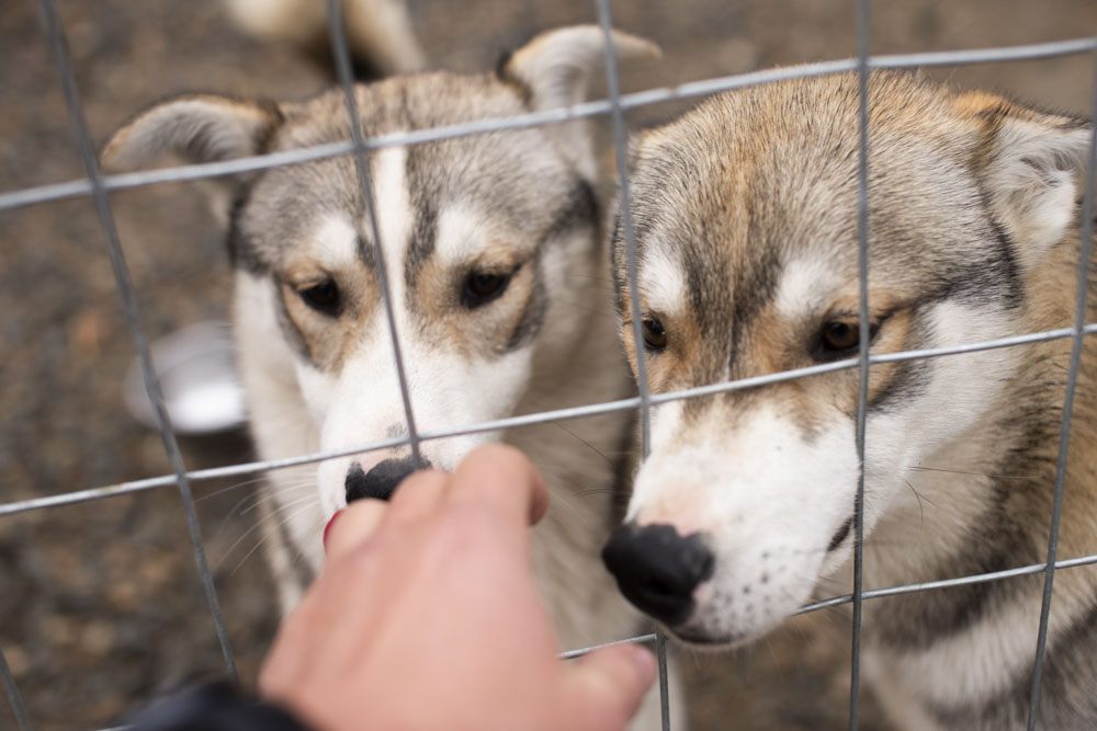 Two curious huskies