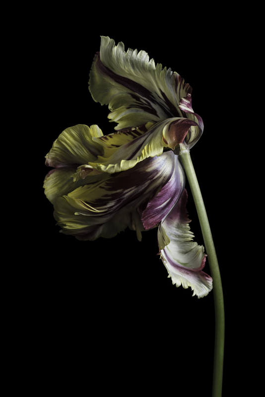 Insulinde tulip 2016.jpg
