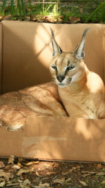Yes, that's a caracal in a cardboard box.