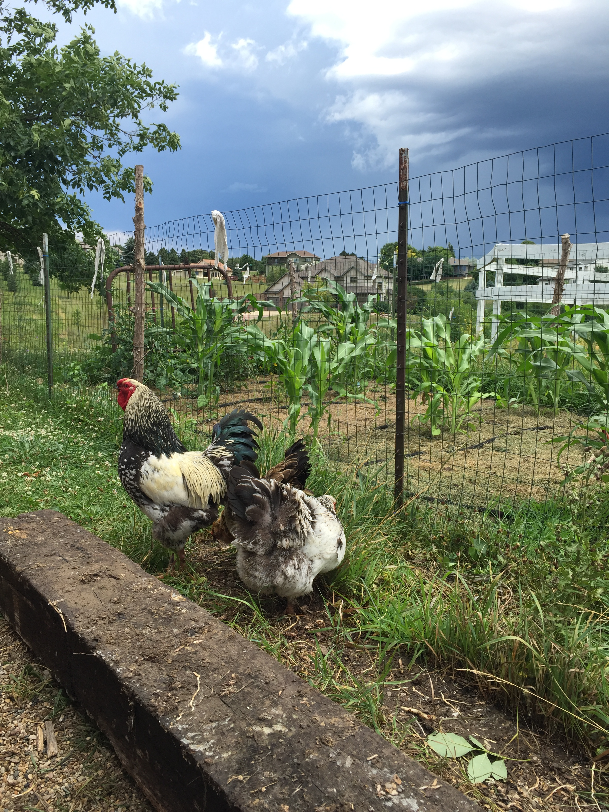 Stormy Chickens.jpg