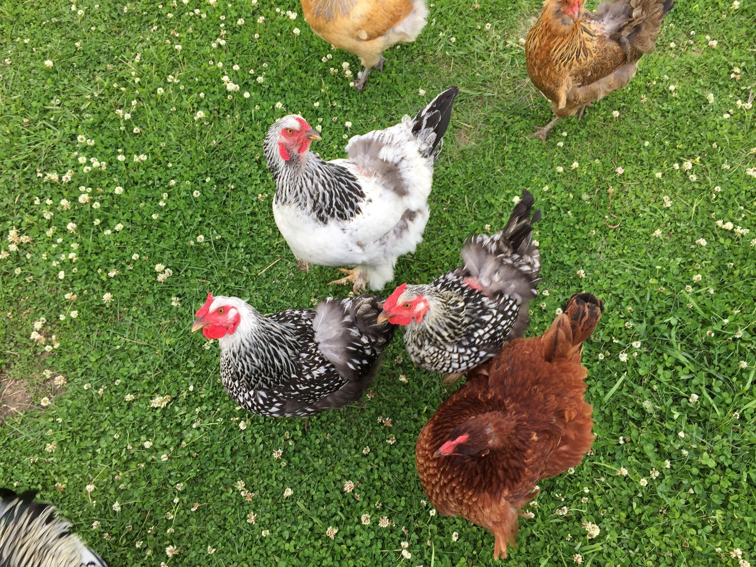 The Hens.JPG