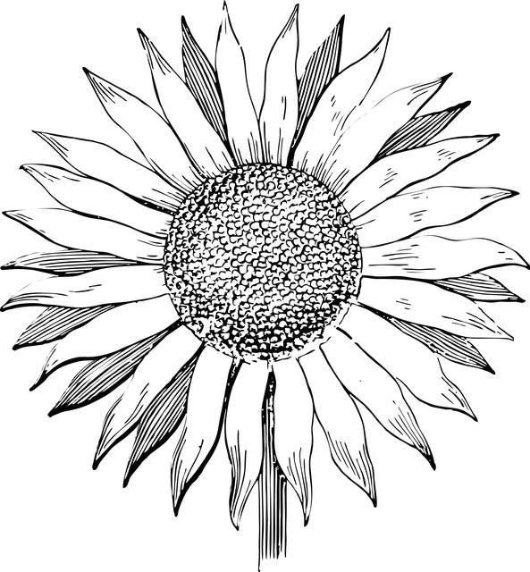 sunflower-2507845_640+%281%29.jpg