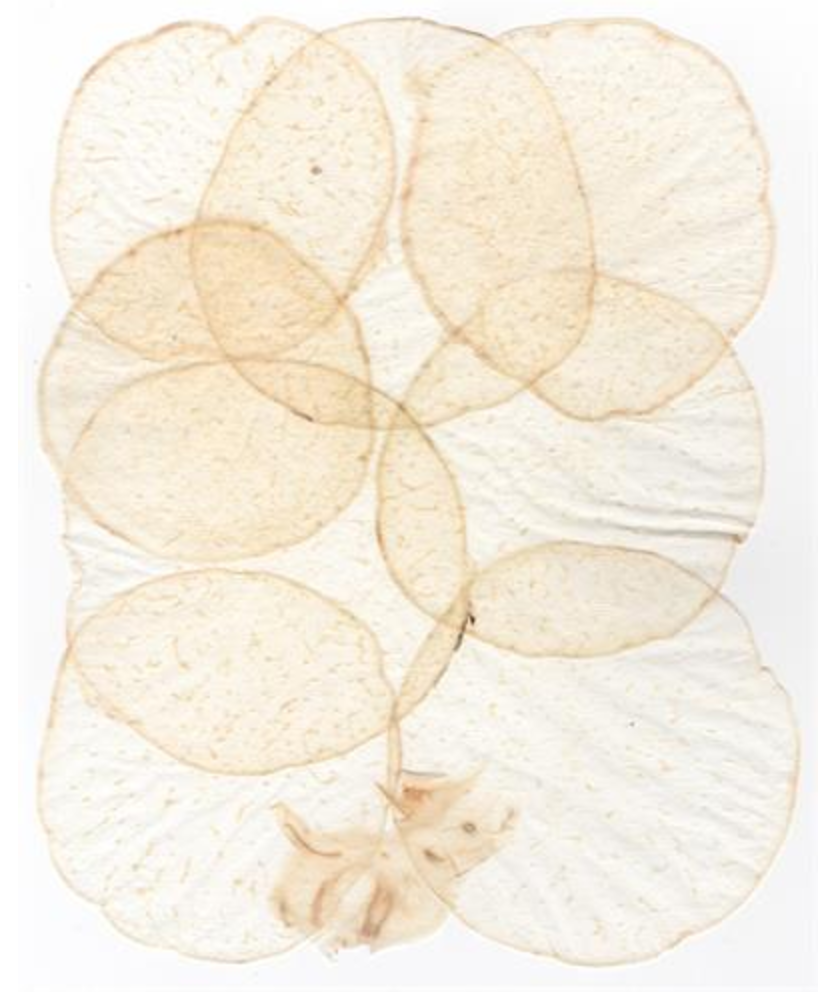 Above: Kohlrabi paper.  Hiromi paper company  in culver city, CA sells these fantastic and delicate papers made from setting the cross-sections of plants! Cannot wait to see them in this piece!